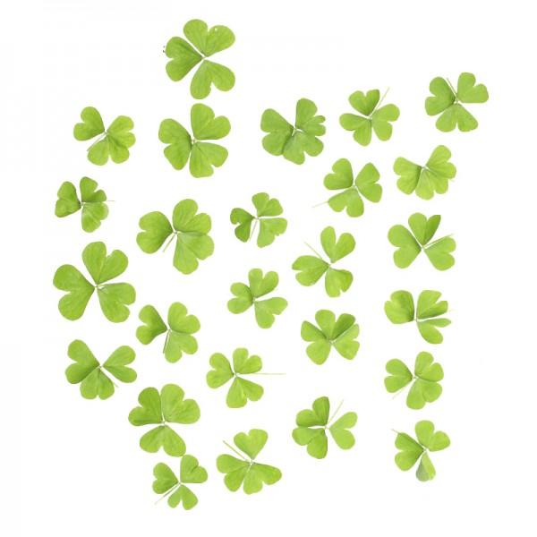 Oxalis Blätter grün (Sauerklee ) 15gSch aus IL