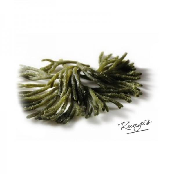 Codium-Algen, ultra frisch