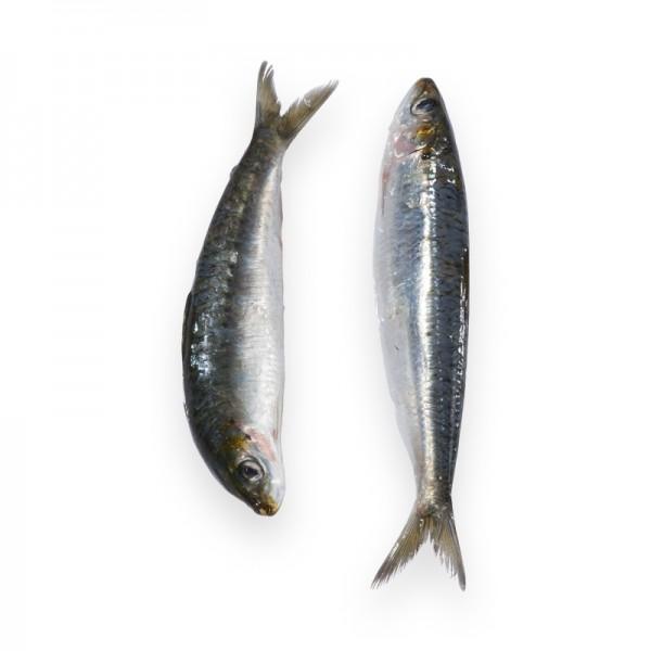 Sardine, rund